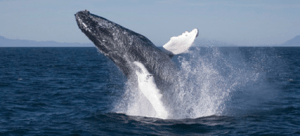 Humpback Whales are some of the spectacular creatures you can spot on a whale watching tour.
