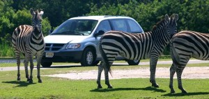 A Driving Tour at the Lion Country Safari Park