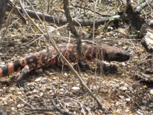 This Gila Monster, spotted during a hike through Saguaro National Park.