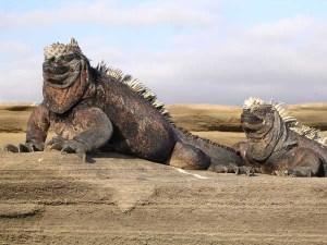 Iguanas run wild in Ecuador's Galapagos Islands