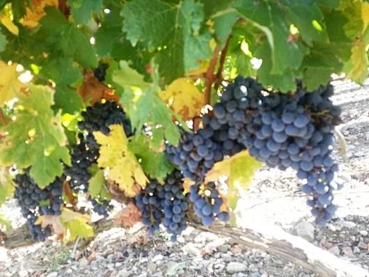 Grapes in La Rioja