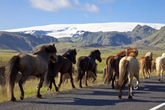 Icelandic horses certainly gallop at a fast clip, but there are better ways to travel from the airport. Photo courtesy of Shutterstock.