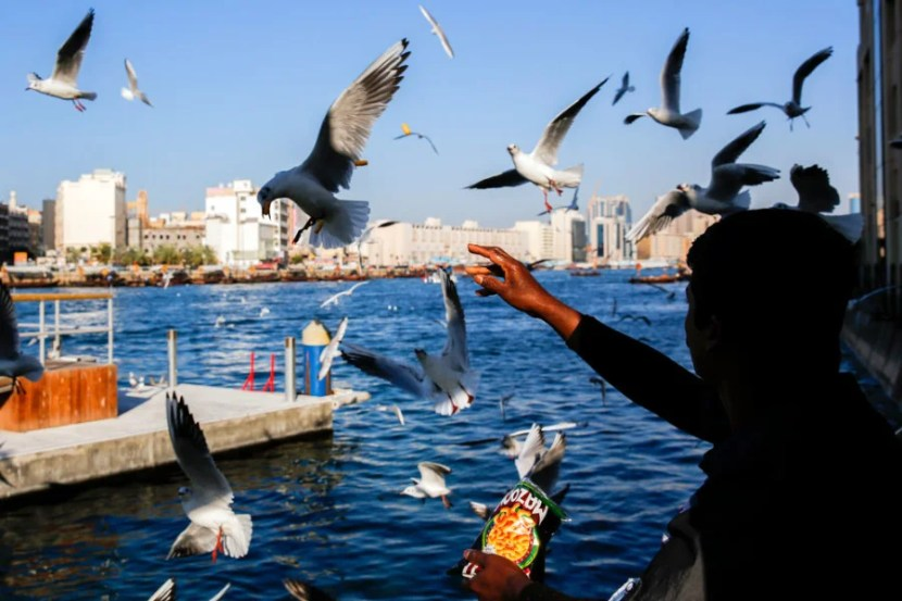 A man feeds birds near the Abra water taxis at sunset by the Old Souk on Dubai Creek on Tuesday, January 21, 2014 in Dubai, United Arab Emirates. © 2014 Patrick T. Fallon - All Rights Reserved, No Use Without Permission