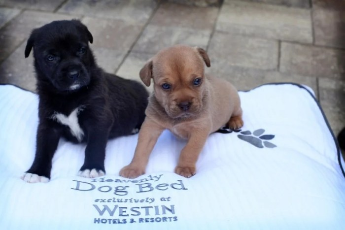 At The Westin La Paloma in Tucson, your pet gets its own Westin Heavenly Dog Bed. Photo courtesy ofWestin.