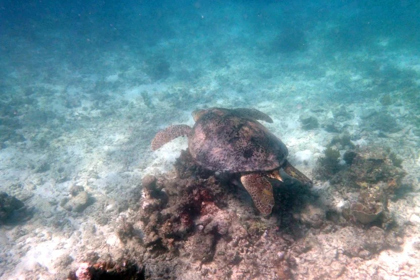 One of Amanpulo's resident sea turtles.
