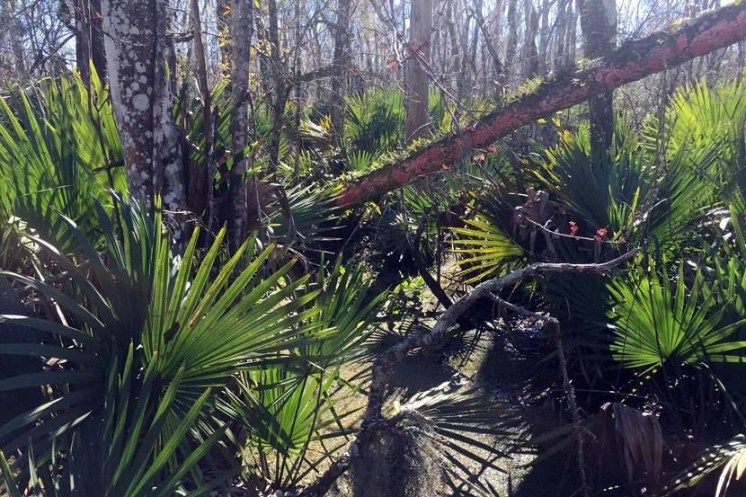 Dwarf Palmettos along the Bayou Coquille trail.