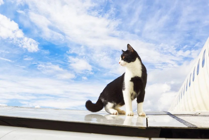 """'Cats on a Plane' just doesn't soundas scary as 'Snakes on a Plane.' Image courtesy of <a href=""""http://www.shutterstock.com/pic-186202505/stock-photo-black-and-white-cat-on-an-airplane.html?src=csl_recent_image-4"""" target=""""_blank"""">Shutterstock</a>."""