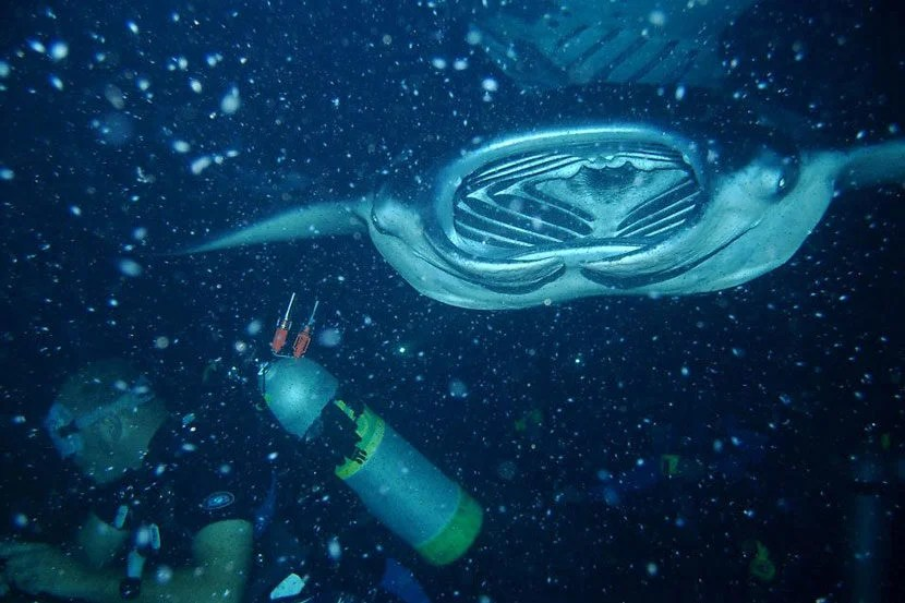 """Take a night swim and watch these massive manta rays glide through the water.Image courtesy of Big Island Divers' <a href=""""https://www.facebook.com/bigislanddivers/photos"""" target=""""_blank"""">Facebook page</a>."""
