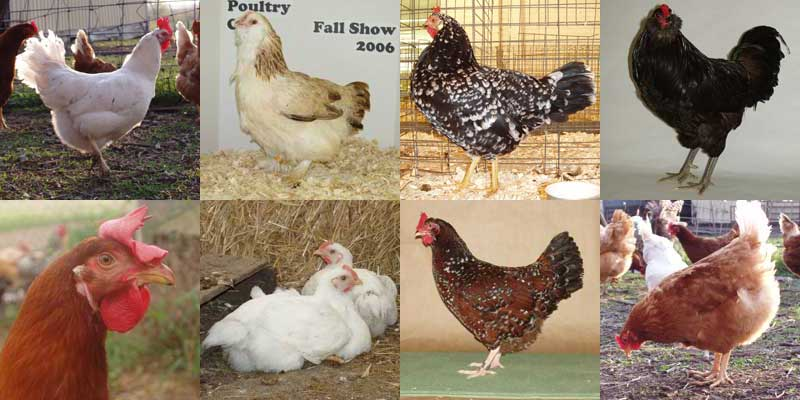 Raising Chickens For Dummies | The Poultry Guide