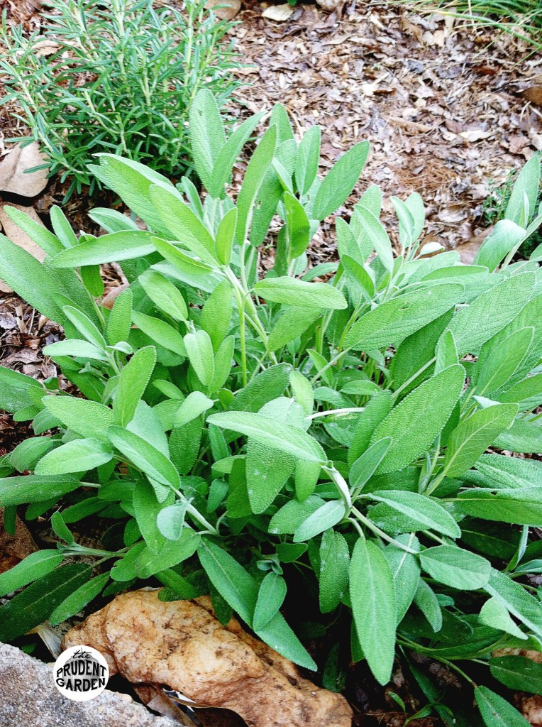owdery Mildew on Garden Sage