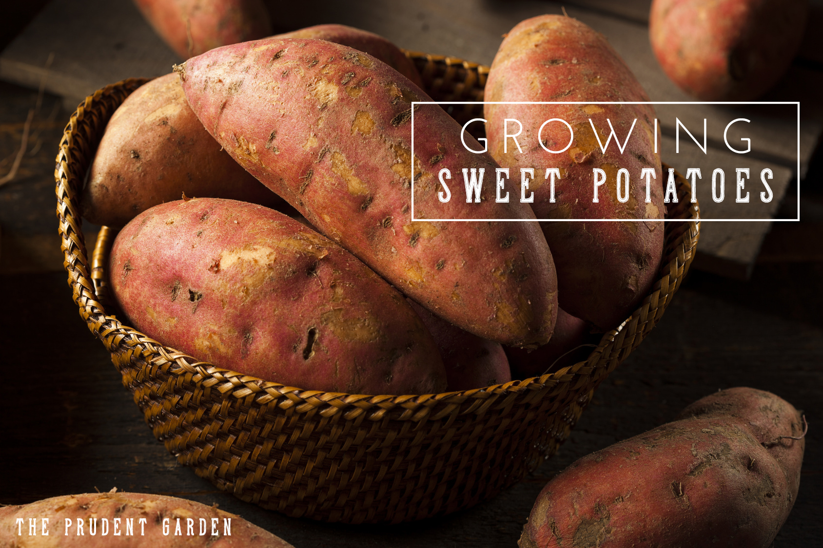 Weeds in flower beds with potato like roots - Growing Sweet Potatoes