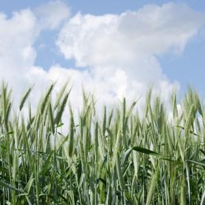 Annual Ryegrass covercrop