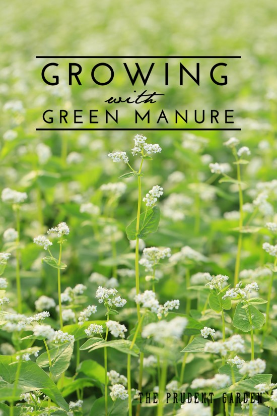 "Green manure is a bit different than, but related to, cover cropping. Learn the difference and how to apply green manure ""technology"" for a better garden."