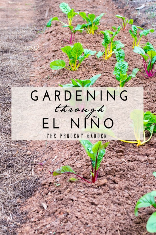 The El Niño pattern has arrived. What effect does it have on gardening? How do gardeners work with these difficult conditions? The answers may be surprising