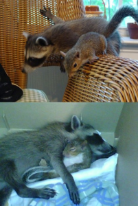 squirrel and raccoon friendship