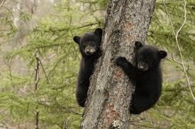 Sadly, not the actual bears