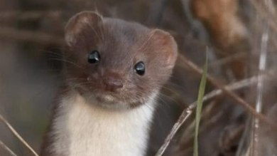 A cute weasel, like this one