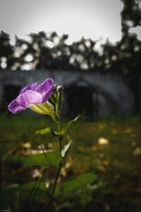 A flower blossoming with the ruins of an old school in the background... nature finds a way