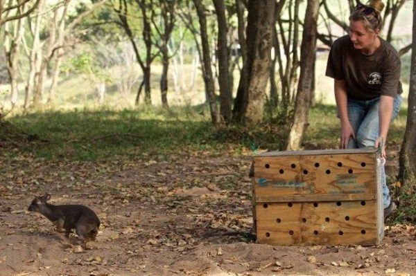This Blue Duiker was recently released onto a reserve in the North Coast after narrowly escaping the clutches of a poacher.