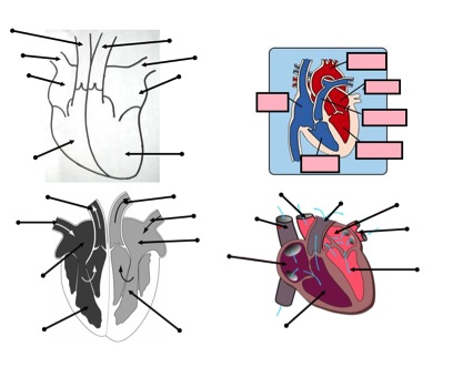 Heart and circulatory system teaching resources \u2013 the science teacher