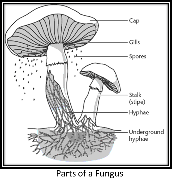 diagram of fungus