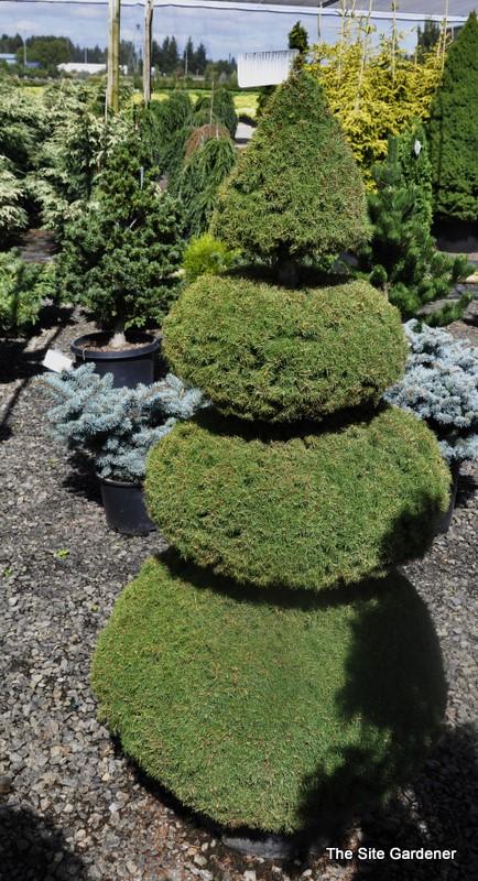 Landscape Gardener Picea glauca 'Conica' - The Site Gardener