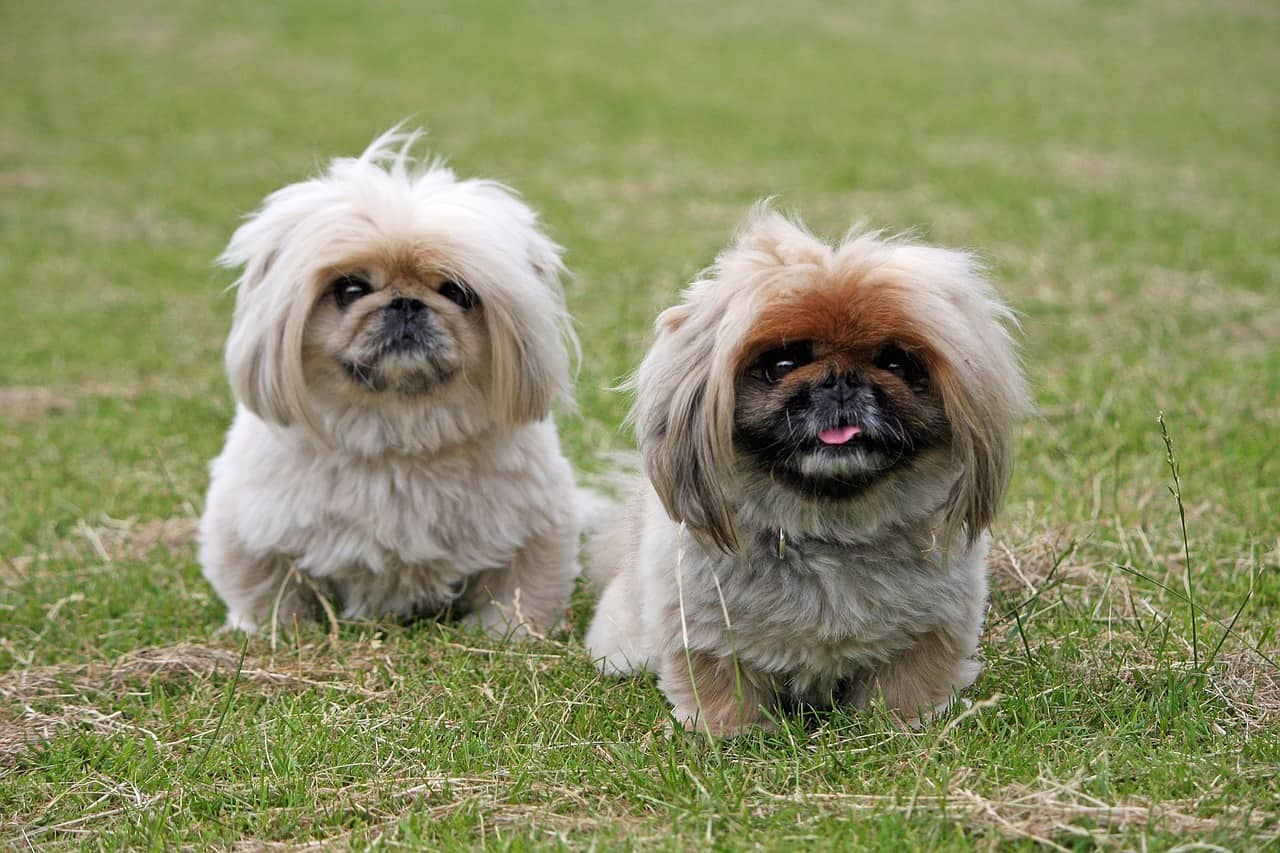21 Chinese Dog Breeds Small Medium Big Chinese Dogs