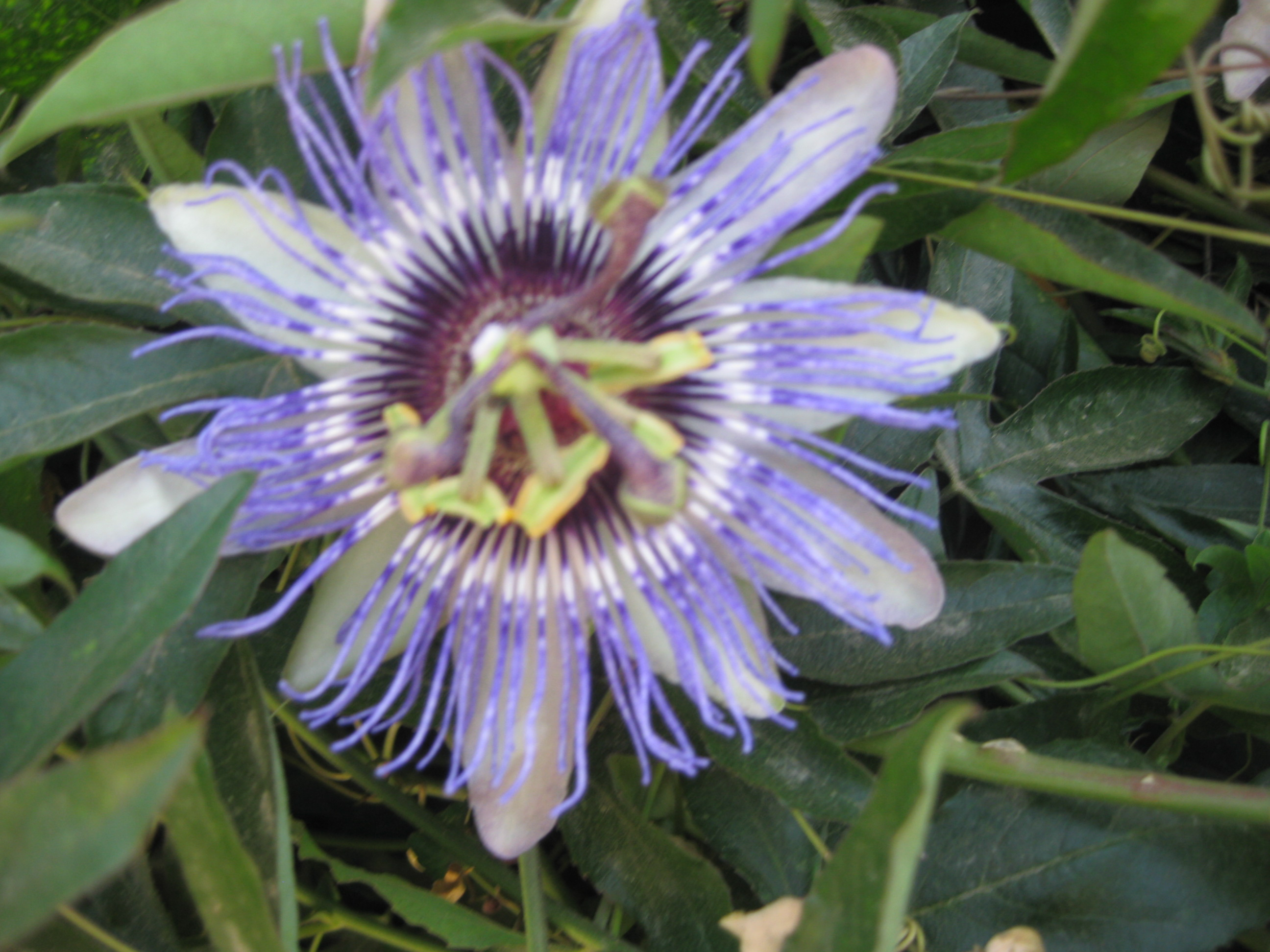 Passiflora Edulis Passion Flowers The Smarter Gardener