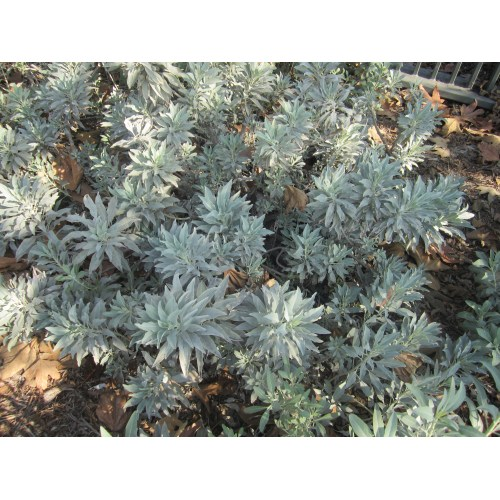 Medium Crop Of White Sage Seeds