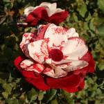 Flores de tela terciopelo rojo y toile de joui
