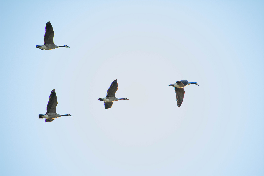 geese_flying