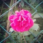 Seoul, Korea: Pink Flower