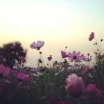 Last Picnic, Pink Flowers, Sunset