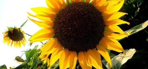 Seoul, Korea: Sky Park, Haneul Park (하늘공원), Sunflower