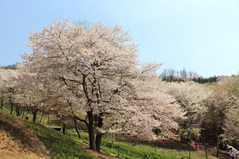 Ansan Mountain, Seodaemun-gu, Seoul, Korea, cherry blossoms