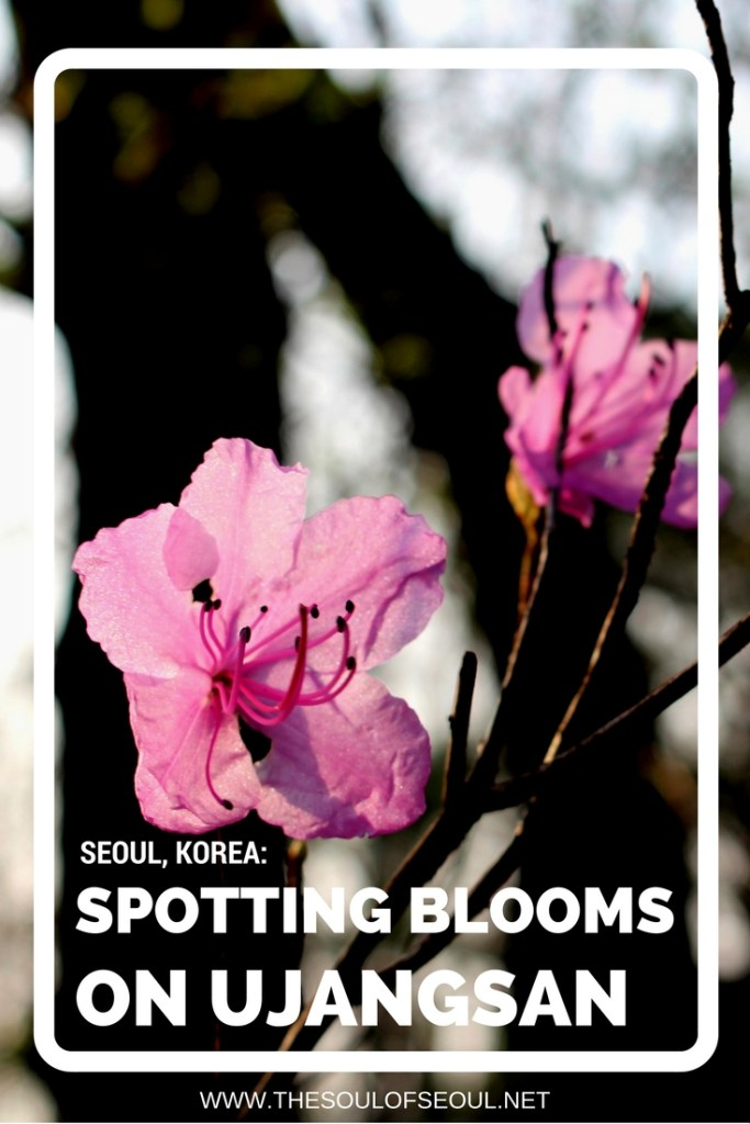 Spotting Blooms On Ujangsan, Seoul, Korea: Small hills dot neighborhoods offering respite and gorgeous views if you have thirty minutes to spare to walk up and around. Ujangsan Mountain in Gangseo-gu, Seoul has beautiful pink flowers in the spring in Korea.