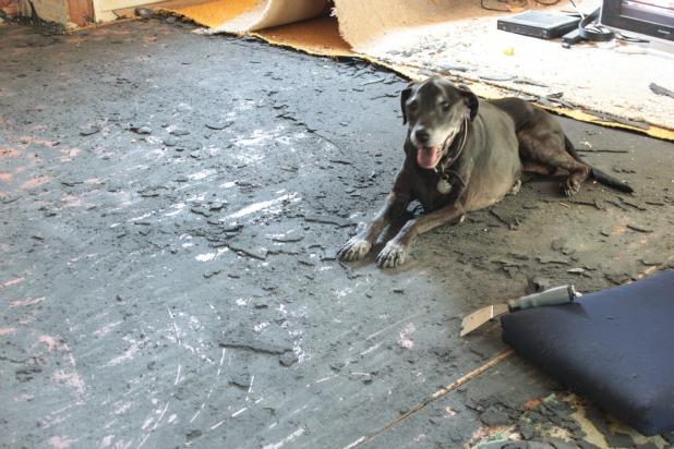 Dog Tearing Up Carpet Lets See Carpet New Design
