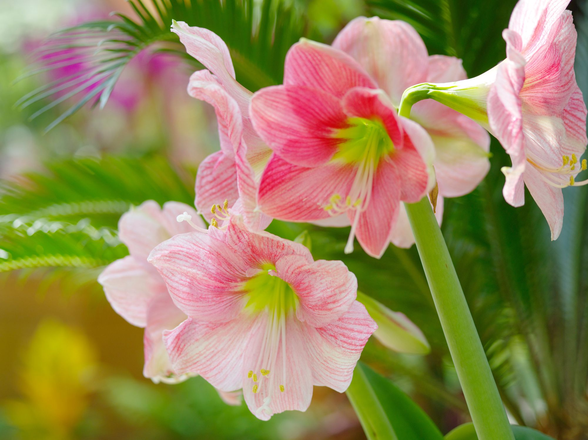 Amaryllis Pflanzen How To Grow Amaryllis