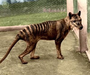 Spotted: a Tasmanian tiger, believed to have been extinct from the mainland of Australia for more than 2000 years ago, was reportedly seen at Inverloch last Wednesday.