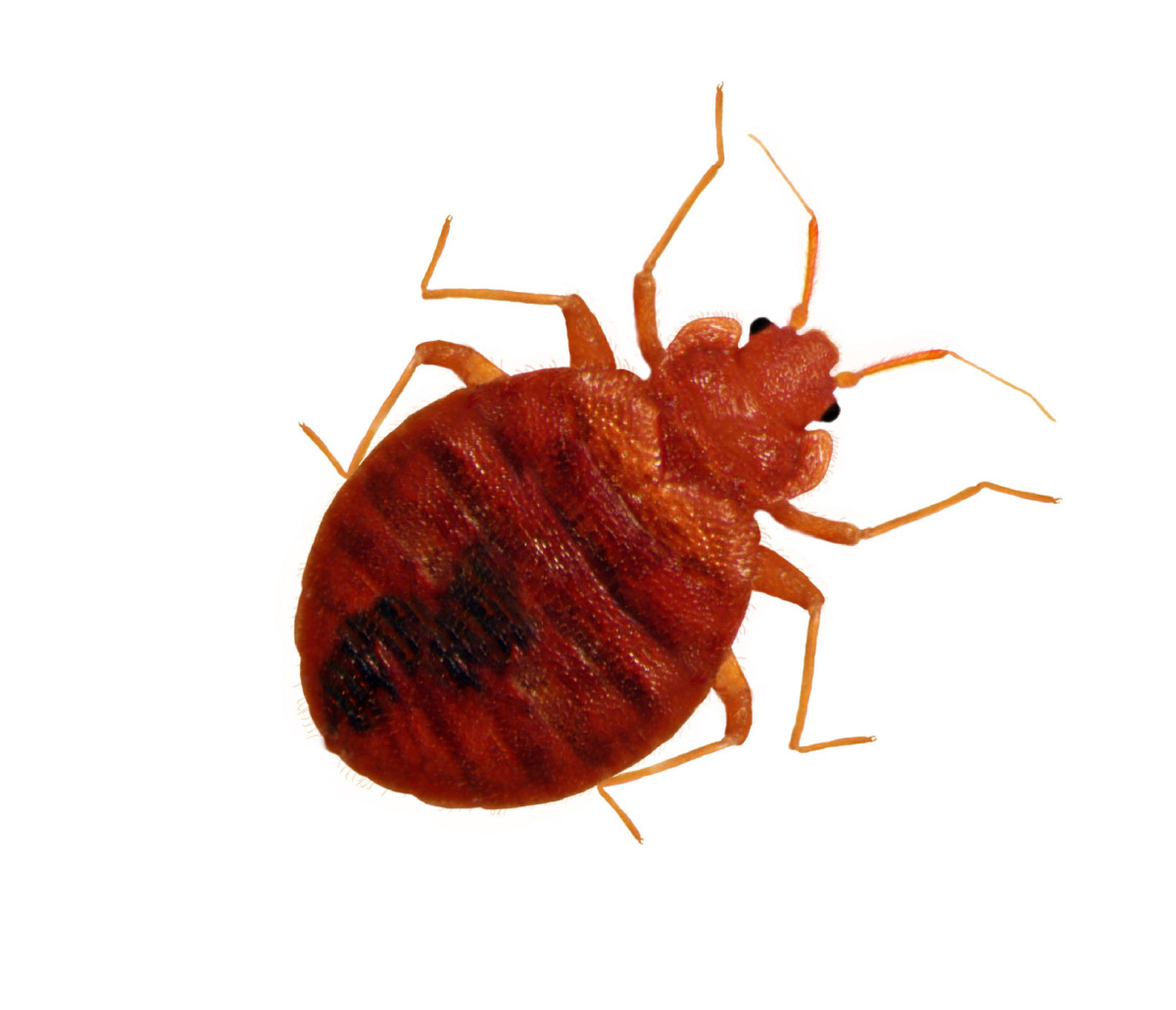 Punaise De Lit Inbreeding Allows Bed Bugs To Spread Studies Find The Star