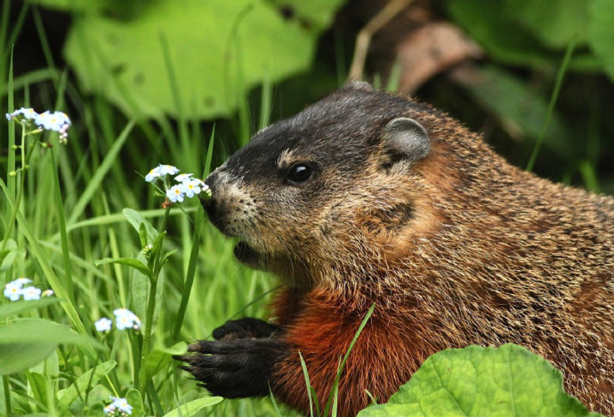 Groundhogs Wild In The City Our Urban Groundhogs Are Unafraid Of An