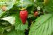 reinefruitleaves