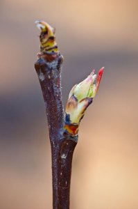 2009_30_march_pearbud