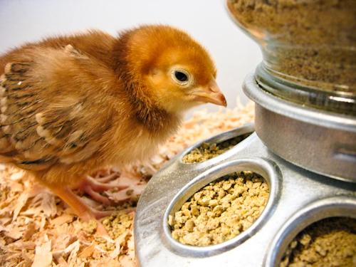 chick-2879