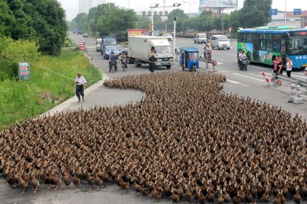 How to Herd Your Chickens (Or Ducks) - From The Tangled Nest blog.