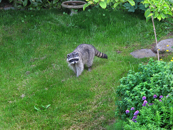 Raccoon Yard 600