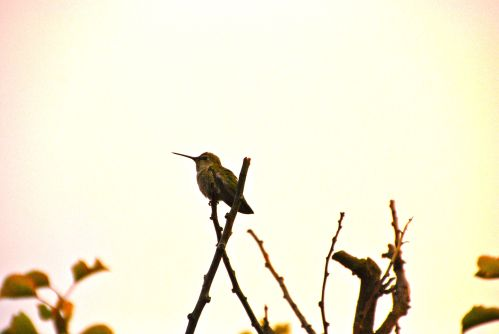 "Photo by Cordelia Naumann, ""Fledgling hummingbird. My backyard in San Bruno, California. August 9, 2013, about 5 pm PDT."""