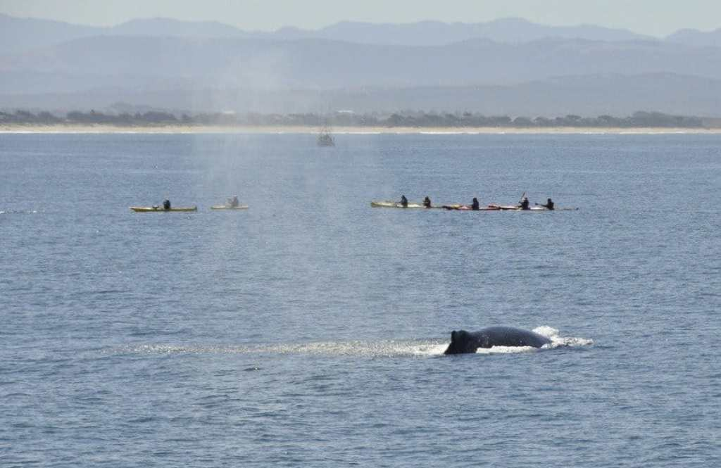 Humpback Whale and Kayaks