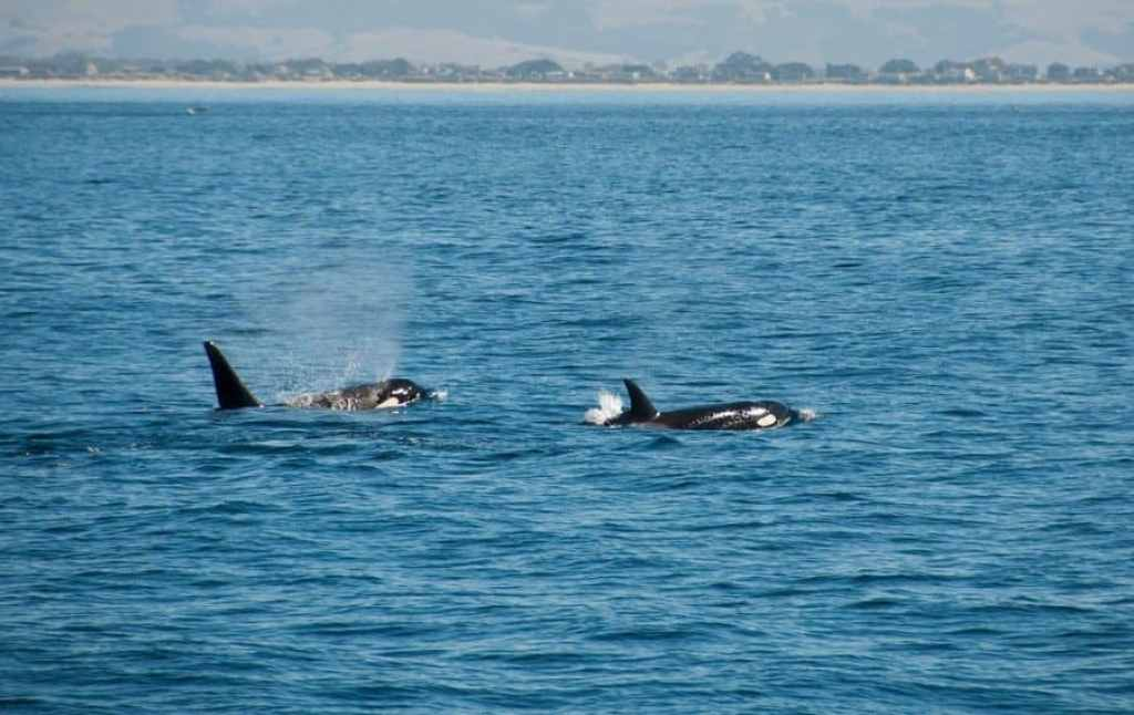 Male and female Orca