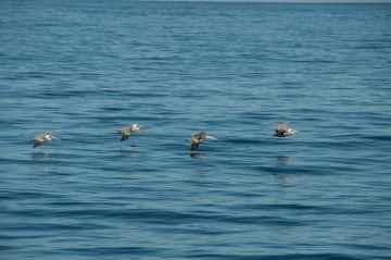Pelicans Monterey Bay